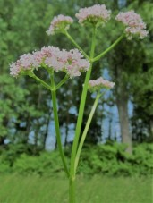 valeriana-officinalis-846614_1920